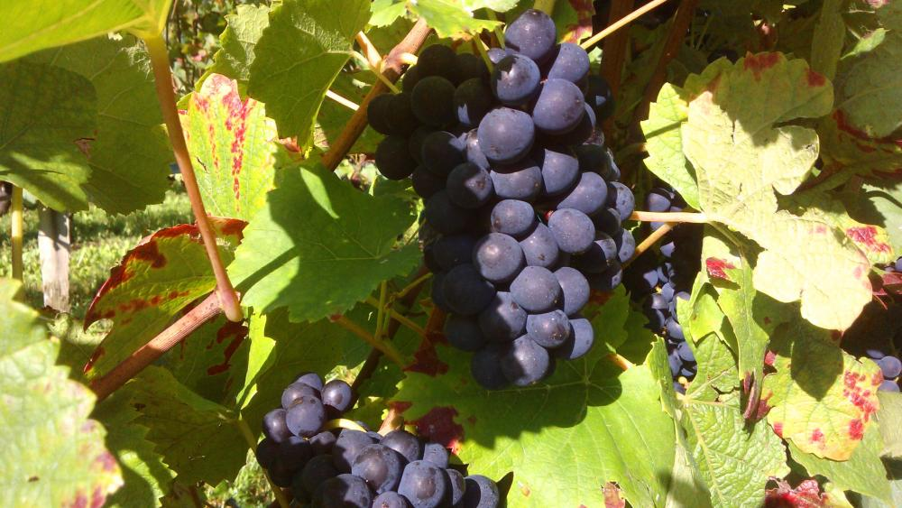 Vendanges monthoux 2014 21
