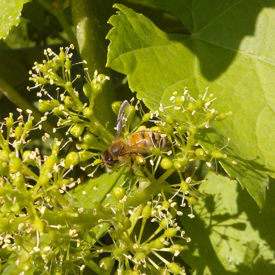Abeille sur un raisin en fleurs