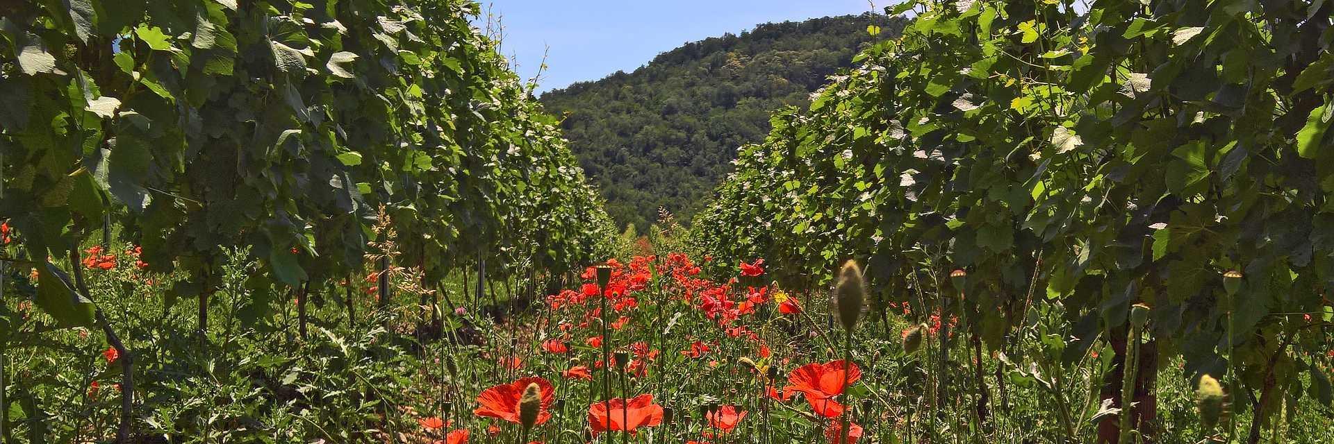 Coquelicots dans les vignes
