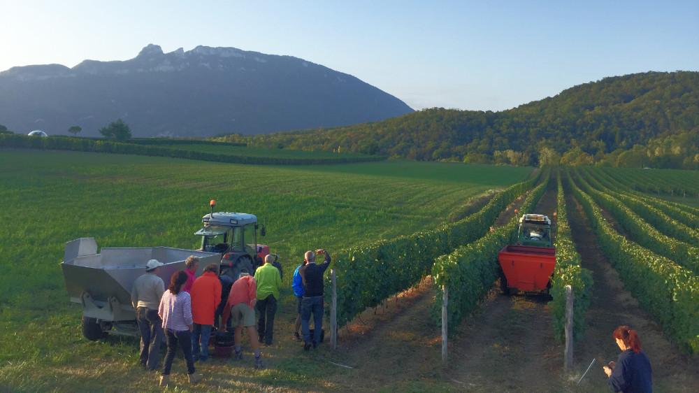 Weinlese in den französischen Alpen