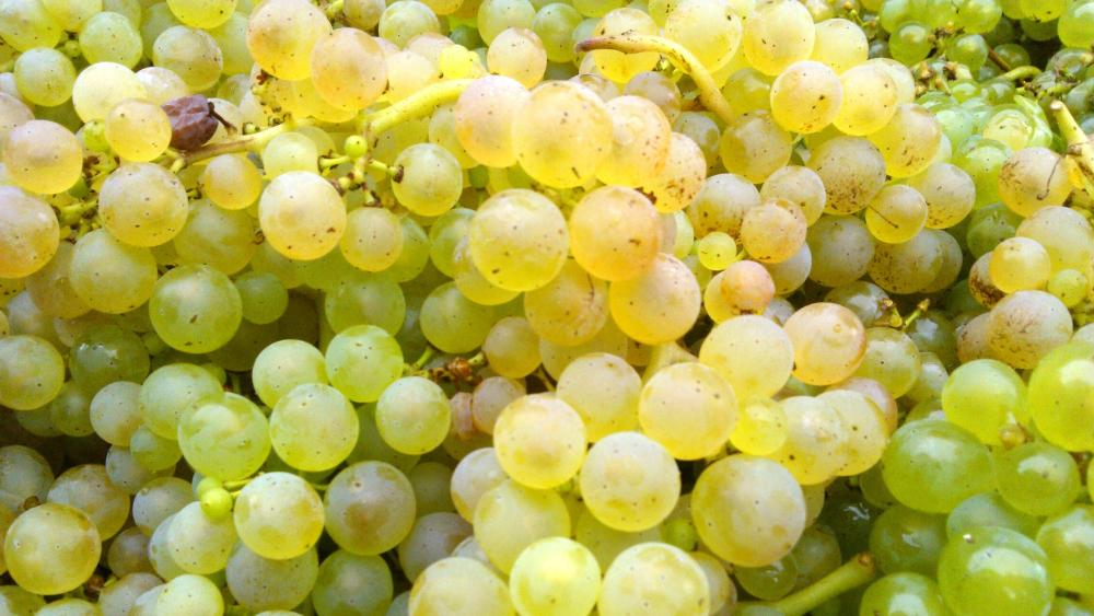 Vendanges monthoux 2014 104