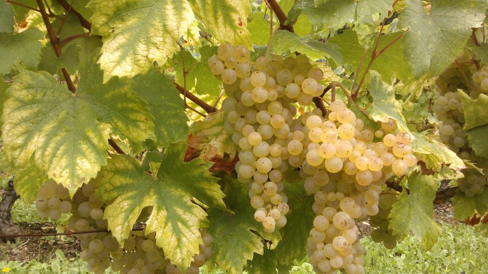 Vendanges monthoux 2014 108
