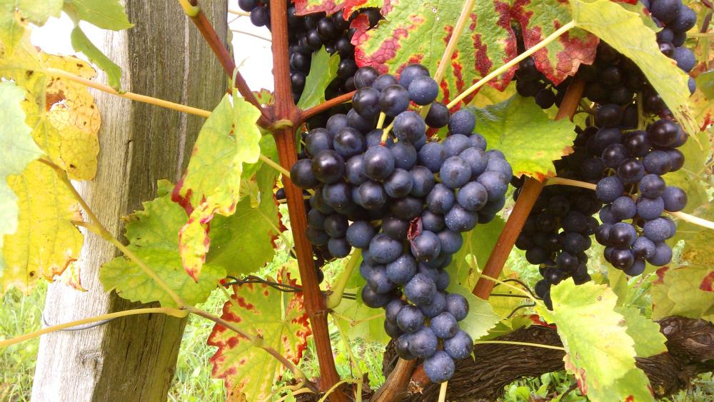 Vendanges monthoux 2014 145