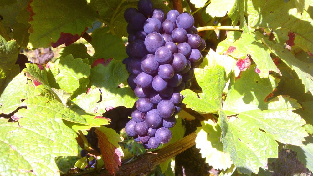 Vendanges monthoux 2014 22