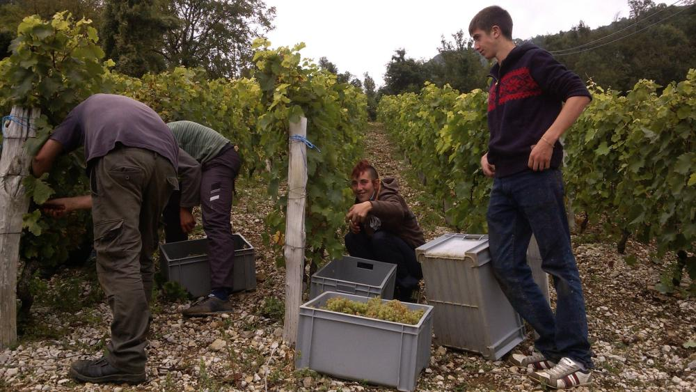 Vendanges monthoux 2014 56