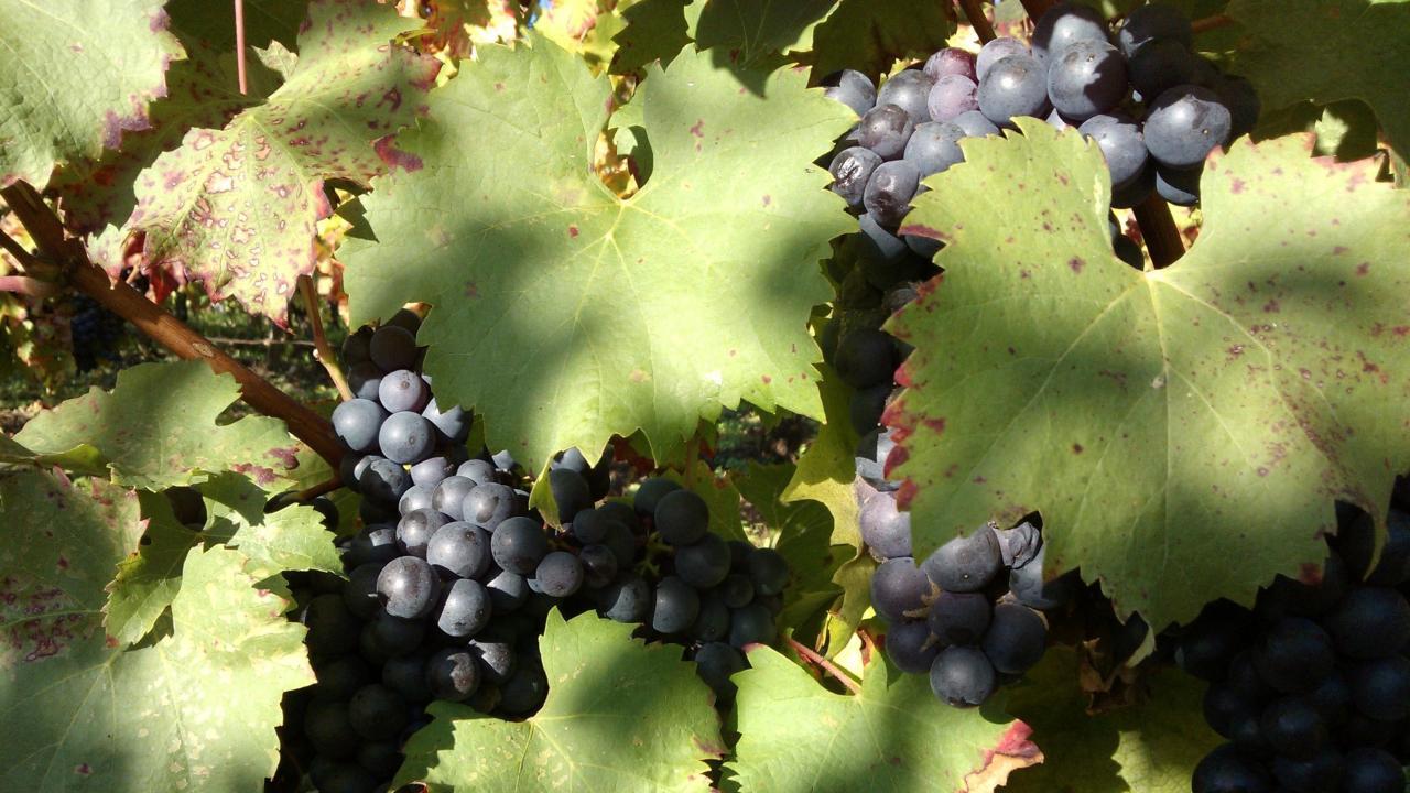 Des raisins mûrs et sains sont la base indispensable pour l'élaboration de nos vins