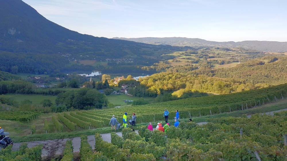 Weinlese beim Sonnenaufgang in dem Hang von Monthoux in den französischen Alpen